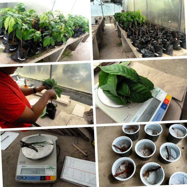 Ensayo en condiciones controladas para determinar la capacidad de enmiendas aplicadas al suelo en la captura de cadmio en suelos cacaoteros (Tesis Doctoral).