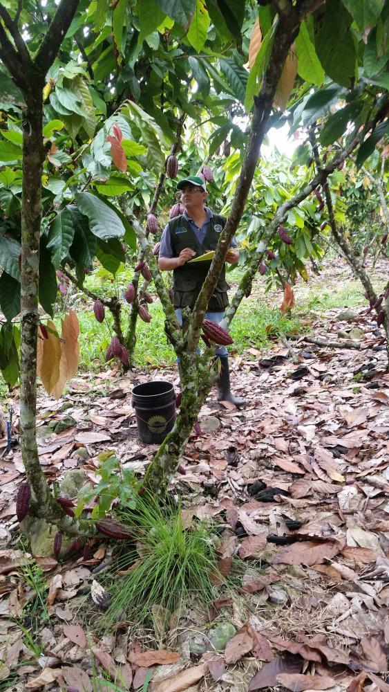 Registro de parámetros agronómicos y fitosanitarios en las parcelas de muestreo ubicadas en la Hacienda San Rafael.